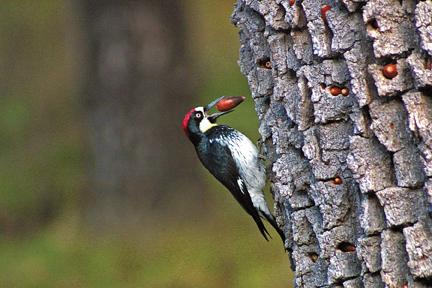Lake_Lopez_woodpecker