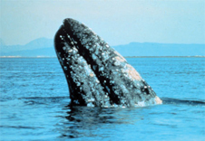 gray-whale2