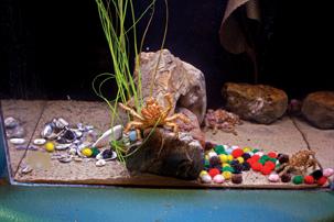 Decorator_Crabs_Aquarium