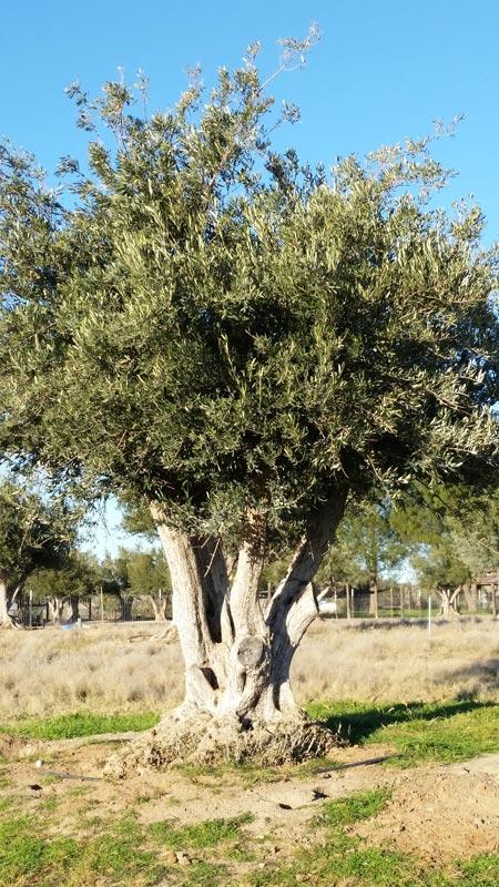 Olivas-de-Oro-pasture