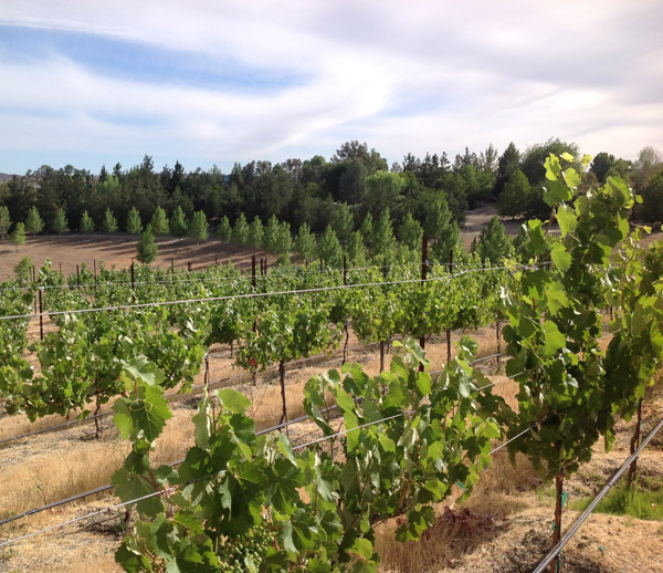 Powell Mountain Cellars vineyard