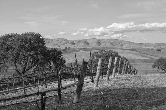 The vines at Hearst Ranch Winery.