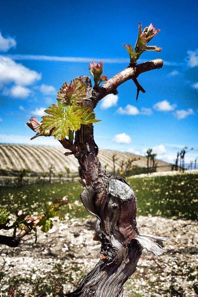 The beautiful old, gnarled vines of Rotta Winery's historic vineyard.