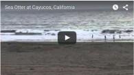 Sea otters cayucos