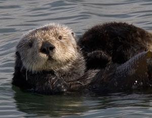 sea otters cayucos california
