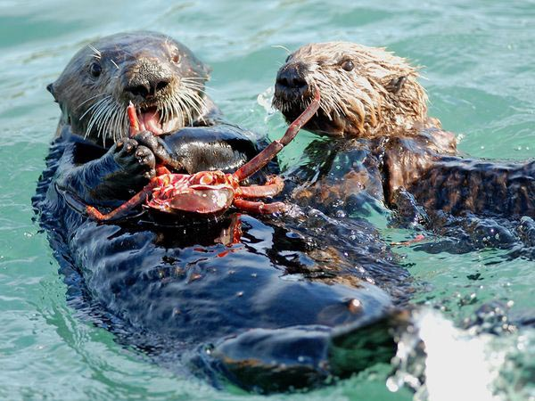 Otters in the bay